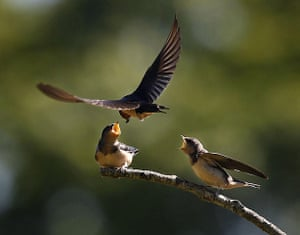 Week in Wildlife: A pair of fledgling barn swallows plead for breakfast from a perch