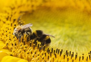 Week in Wildlife: Two bees collect pollen from a sunflower in Utrecht, Netherlands