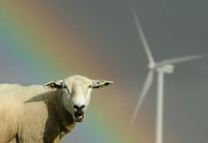 Week in Wildlife: Sheep graze close to electricity generating wind turbines