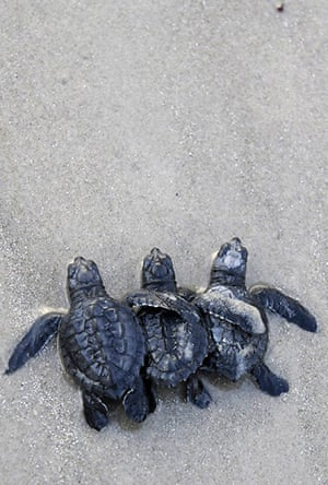 Week in Wildlife: A trio of Kemp's ridley turtle hatchlings make their way through the surf