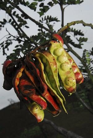 Week in Wildlife: Seeds of tara tree at Lomas de Lachay national reserve in Peru