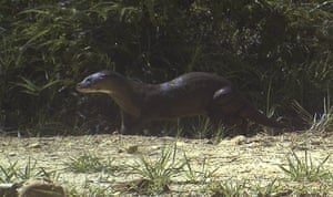 Week in Wildlife: An endangered hairy-nosed otter walking in a forest reserve in Sabah