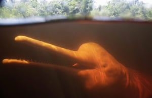 Week in Wildlife: A Boto Cor-de-Rosa, pink river dolphin swims in the Negro River