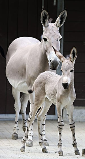 Week in Wildlife: A three year old stallion foal and his mother at the Wilhelma Zoo