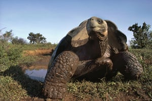 Galapagos wildlife: A Giant tortoise at a mud wallow on Volcan Alcedo