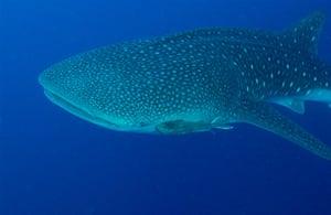 Galapagos wildlife: A whale shark (Rhincodon typus)