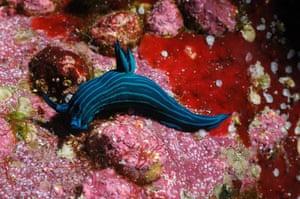 Galapagos wildlife: Nudibranch, a form of marine mollusc