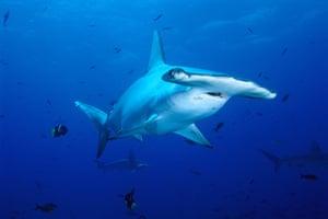 Galapagos wildlife: A Scalloped Hammerhead Shark (Sphyrna lewini)