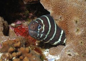 Galapagos wildlife: A Zebra Moray eel hiding