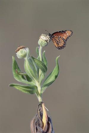 Galapagos wildlife: Monarch butterfly (Danaus plexippus)
