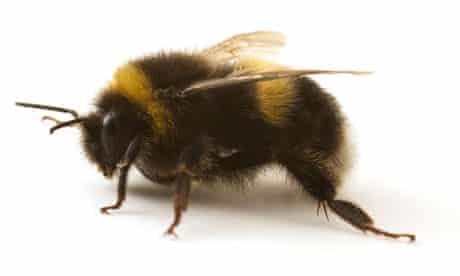 A Bumblebee