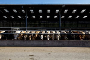 Jay Rayner on On the Hoof: Cattle feeding in the giant shed at pennys in Leeds