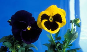 Pansies: raising awareness of homophobia.
