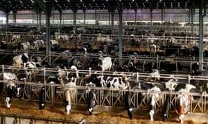 Cows at diary farm