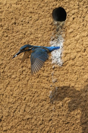 Kingfisher Hotel: Kingfishers in Cambridgeshire hosted by Natural England
