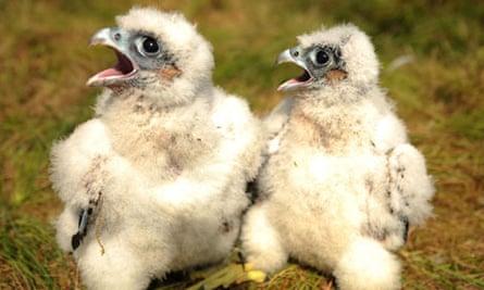 Peregrine falcon eggs stolen