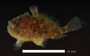 Census of marine life: Sargassum Fish from South Korea