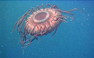 Census of marine life: Atolla wyvillei, deep-sea jellyfish off Japan
