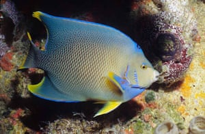 Census of marine life: Queen angelfish, Holacanthus ciliaris, near an oil rig in Gulf of Mexico
