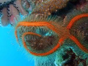Census of marine life: Ophiothrix suensonii, sponge brittle stars in the Caribbean