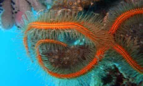 Census of marine life: Ophiothrix suensonii