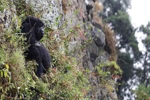 Week in wildlife: A adult female mountain gorilla in Virunga National Park