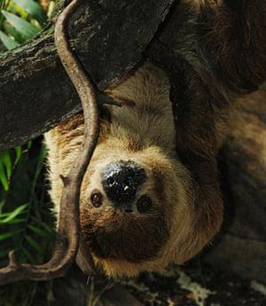 Week in wildlife: London Zoo sloths