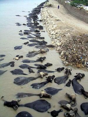 Week in wildlife: Buffaloes cool off in flood water Pakistan flash flood