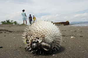 Week in wildlife: A dead puffer fish lies on the seashore of Naic, southwest of Manila