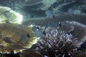 Week in wildlife: Massive Coral Bleaching in Indonesia