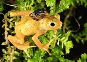 Week in wildlife: Kihansi Spray Toads Make Historic Return to Tanzania