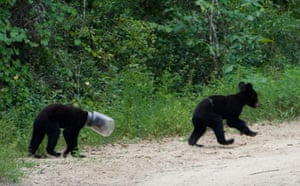 Week in wildlife: wo black bear cubs, one with a jug on its head in Ocala National Forest