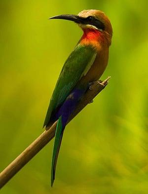 Week in wildlife: white-fronted bee-eater