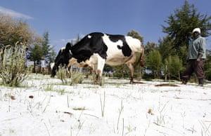 Week in wildlife: A man herds cattle after a heavy hailstorm in Nyahururu district