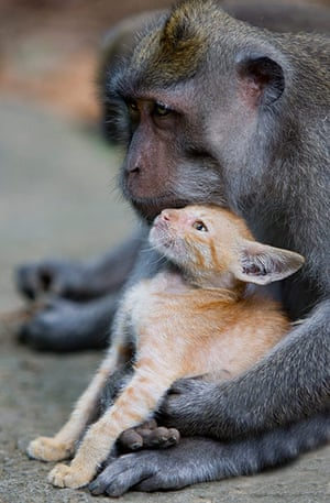 Monkey adopts Kitten: A long tailed macaque monkey adopted a kitten in Bali, Indonesia
