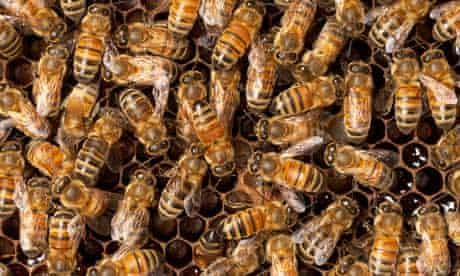 Honeybees in their hive.