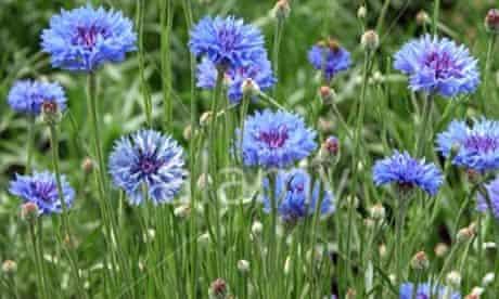 Gardens: Cornflowers
