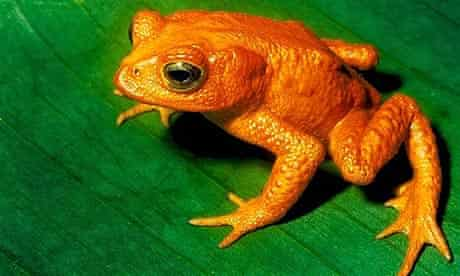 A golden toad