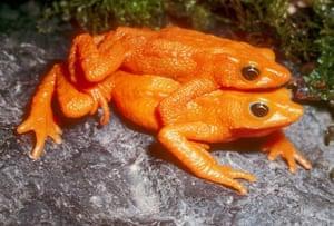 lost amphibians: Atelopus sorianoi