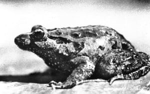 lost amphibians: Discoglossus nigriventer