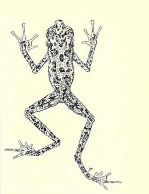 lost amphibians: Ansonia latidisca