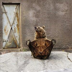 Brown bear Yoga: 2 Female Brown bear doing her early morning Yoga