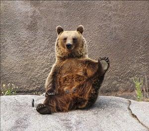 Brown bear Yoga: 3 Female Brown bear doing her early morning Yoga