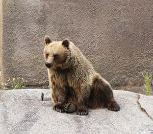 Brown bear Yoga: Female Brown bear doing her early morning Yoga