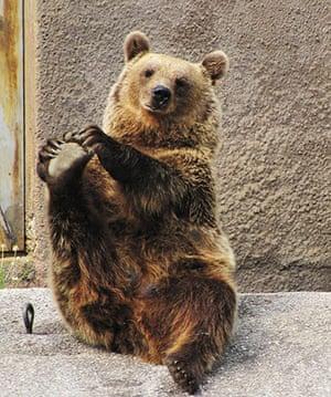 Brown bear Yoga: 6 Female Brown bear doing her early morning Yoga