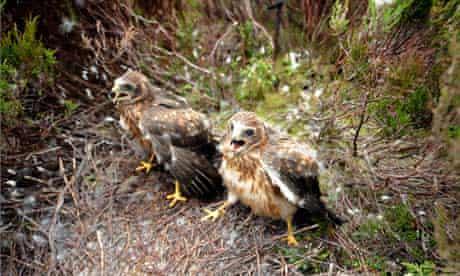 Hen harriers chicks