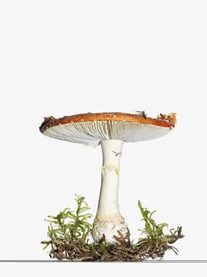 mushroomsguide: Mushroom - flay agaric