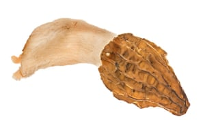 mushroomsguide: Mushroom - common morel