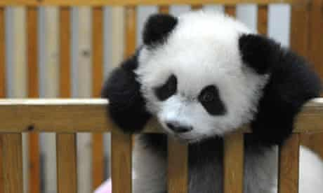 Baby Panda Born at Chengdu Giant Panda and Research Institute , China