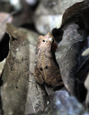 week in wildlife: A frog is seen near Tiputini river, Yasuni National Park